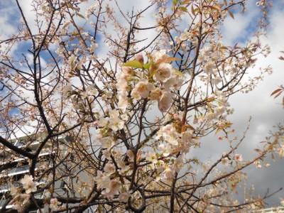 12月8日撮影のヒマラヤ桜