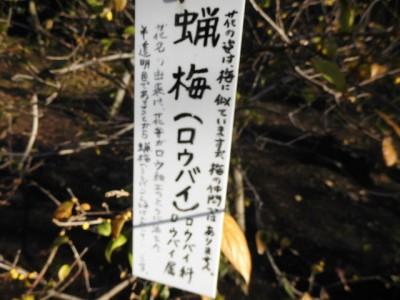 蝋梅(ろうばい)