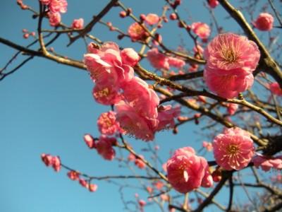 熱海梅園に咲く紅梅