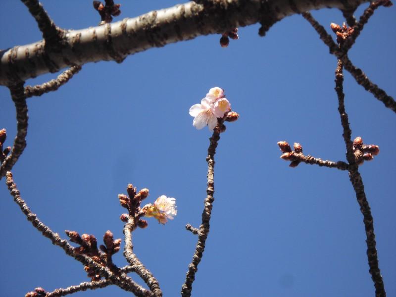 1月9日撮影のあたみ桜