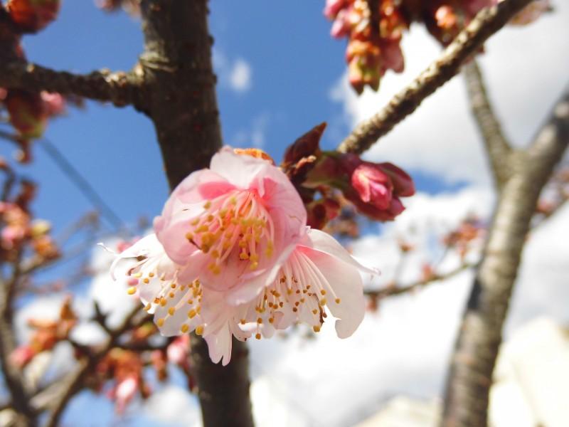 あたみ桜(1月23日)撮影