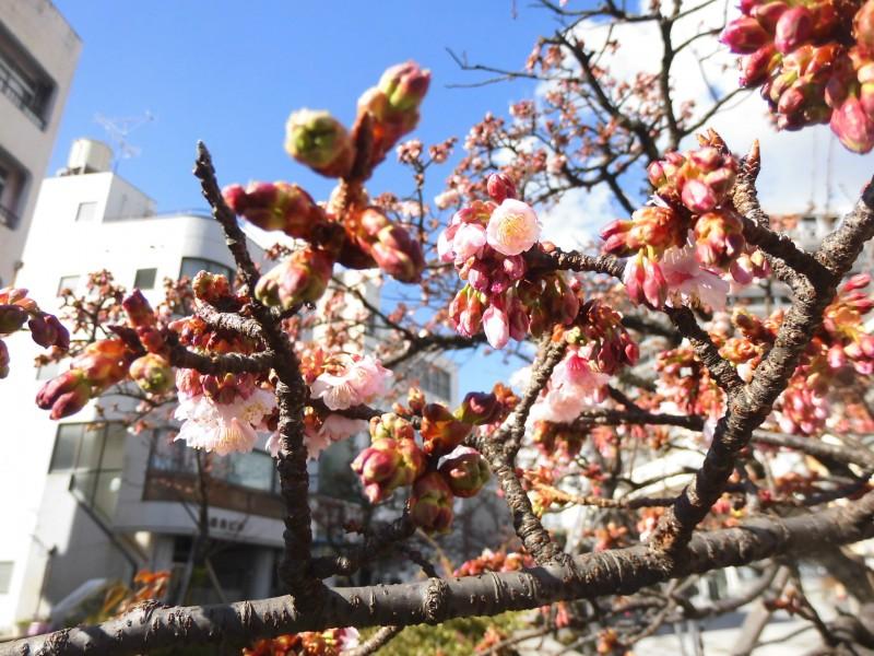 あたみ桜(1月23日撮影)
