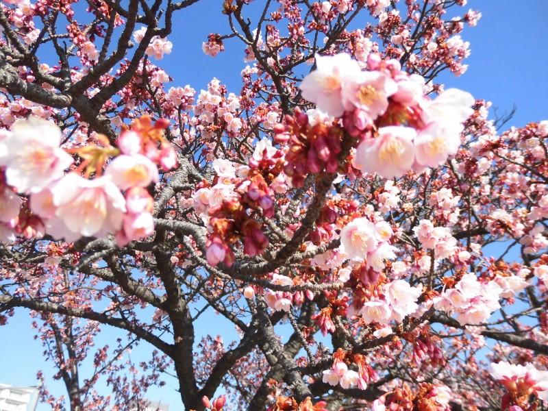 あたみ桜(釜鳴屋平七像)