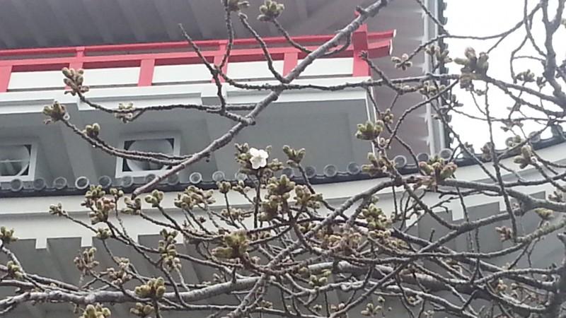 開花しました。熱海城のソメイヨシノ
